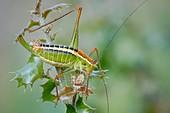 Ionian bush cricket
