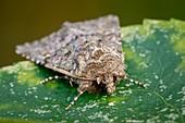 Feathered ranunculus moth