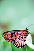 Natal acraea butterfly