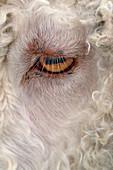 Eye of an Angora goat