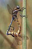 Common thorntail dragonfly mating