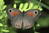 Rainforest brown butterfly