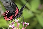 Scarlett swallowtail butterfly