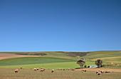 Merino sheep, Overberg region, South Africa