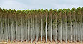 Blue gum tree plantation
