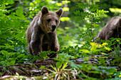 European brown bears, Slovenia