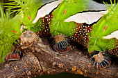 Bullseye moth caterpillar