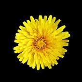 Dandelion (Taraxacum officinale) flower