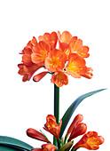 Bush lily (Clivia miniata) inflorescence