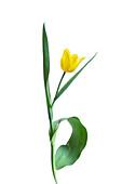Woodland tulip (Tulipa sylvestris)