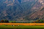 Cattle grazing, India