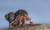 Land hermit crab