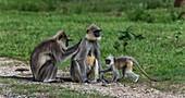 Hanuman languars