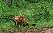 Female and male Indian wild dogs