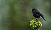 Male pied bush chat