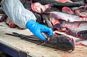 Worker cutting pieces of catfish