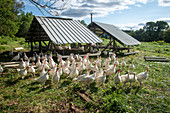 Flock of turkeys on a farm
