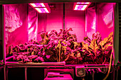 Plants growing in an aquaponics system