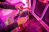 Professor feeding lettuce to fish in an aquaponics system
