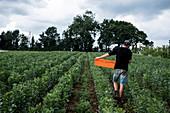 Man walking through a vegetable field, carrying orange plastic crate