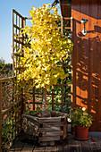 Fächerblattbaum mit gelber Herbstfärbung im Holzkübel auf der Terrasse