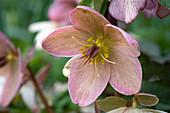 Blütenmakro einer Lenzrose