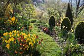 Hanggarten mit blühendem Goldlack und formgeschnittenen Buchsbaum-Kegeln im Frühling