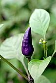 Lila Chilischote an der Pflanze