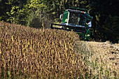 Hemp harvest for edible oil production: Hemp field is harvested with a combine harvester