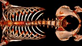 Bones of the torso, 3D CT scan