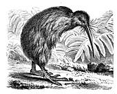 Southern brown kiwi, illustration