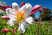 Lily (Lilium sp.)