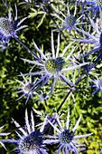 Eryngium alpinum flower