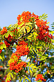 Berries on a Rowan tree (Sorbus aucuparia) at sunset