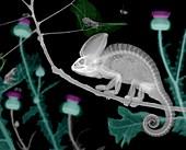 Veiled chameleon, X-ray