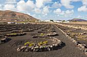 Vineyard in lava rock dugouts