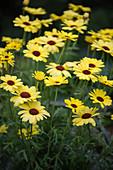 Argyranthemum 'Grandaisy Bright Yellow'