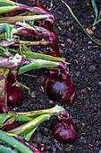Allium cepa 'Red Baron'