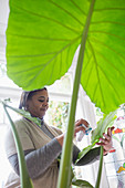 Woman cleaning plant leaves at home