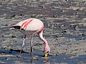 James's flamingo feeding, Laguna Chiarcota, Bolivia