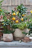 Zitronenbäumchen und Kumquat unterpflanzt mit Zitronenthymian