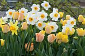 Frühlingsbeet mit Tulpen und Narzissen 'Barrett Browning'