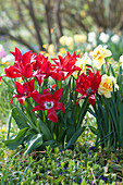 Lilienblütige Tulpe 'Pieter de Leur' und Narzisse 'Tahiti'