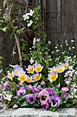 Frühlingsbeet mit Stiefmütterchen, Wildtulpe 'Lilac Wonder', Gänsekresse und Bergwaldrebe