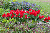Frühlingsbeet mit roten Tulpen, Lungenkraut und Wolfsmilch