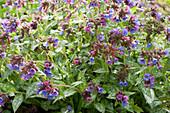 Lungenkraut 'Fontana di Trevi' mit blauen, violetten und rosafarbenen Blüten