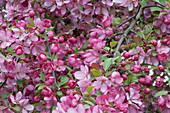 Zierapfelbaum 'Paul Hauber' mit rosafarbenen Blüten