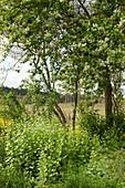 Knoblauchsrauke wächst unter der Traubenkirsche