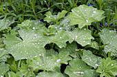 Frauenmantel mit Wassertropfen auf den Blättern nach einem Regen