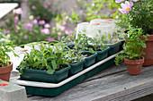 Stecklingsvermehrung in beheizbaren Anzuchtkästen: Eisenkraut, Tomaten, Tontopf mit Petersilie